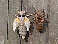 17-year Cicada Brood X Inflating Wings 2021.jpg