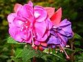 1851 - Salzburg - Mirabellgarten - Roses.JPG