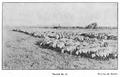 1910 Turmă de oi.PNG