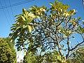 2002Plumeria acuminata 03.jpg