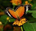 2012-07-20 15-31-46-Cethosia sp..jpg