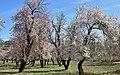 2013 Spring blossoms of Shahr-e Kord 04.jpg