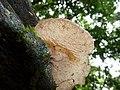 2014-09-18 Auricularia delicata group 461599.jpg