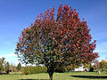 2014-11-02 14 10 25 Bradford Pear during autumn along Hunters Ridge Drive in Hopewell Township, New Jersey.jpg