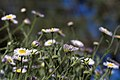 2014-365-170 It's a Daisy Jungle Out There (14462193084).jpg