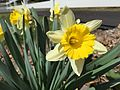2015-04-13 12 17 16 Daffodils blooming on Terrace Boulevard in Ewing, New Jersey.jpg