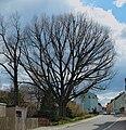 2015-04-18 ND Eiche in Ehrenfriedersdorf (Sachsen) 01.jpg