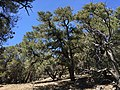 2015-04-27 12 09 16 Single-leaf Pinyon on the north wall of Maverick Canyon, Nevada.jpg