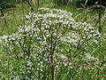 20150605Valeriana officinalis4.jpg