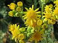 20150611Jacobaea vulgaris3.jpg