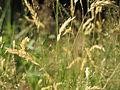 20150705Anthoxanthum odoratum2.jpg
