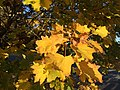 2016-11-12 15 24 49 Norway Maple autumn foliage in Franklin Farm Park in the Franklin Farm section of Oak Hill, Fairfax County, Virginia.jpg