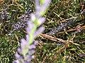 2017-07-02 Lavender 04.jpg