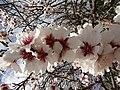 2018-02-11 Almond blossom, Rua Mouzinho de Albuquerque, Albufeira.JPG