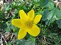 2019-04-25 (150) Caltha palustris (marsh-marigold) at Jägerlacke, Texingtal, Austria.jpg