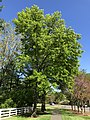 2019-04-27 16 28 14 Pin Oak leafing out in mid-Spring along Franklin Farm Road near Thorngate Drive in the Franklin Farm section of Oak Hill, Fairfax County, Virginia.jpg
