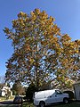 2019-11-06 11 39 18 An American Sycamore in late autumn along Apple Barrel Court in the Franklin Farm section of Oak Hill, Fairfax County, Virginia.jpg