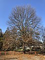 2019-12-20 12 59 24 A Pin Oak during early winter after shedding most of its leaves within Franklin Farm Park in the Franklin Farm section of Oak Hill, Fairfax County, Virginia.jpg