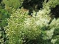 20190618Sorbaria sorbifolia2.jpg