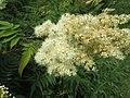20190618Sorbaria sorbifolia4.jpg