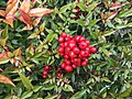 2020-02-01 10 44 00 Heavenly Bamboo fruit in mid-winter along Franklin Farm Road in the Franklin Farm section of Oak Hill, Fairfax County, Virginia.jpg