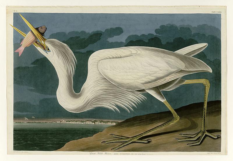 File:281 Great White Heron.jpg