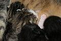 5-day-old kittens 06.jpg