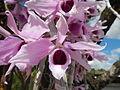 5604Camachile Doña Remedios Trinidad Orchids Bulacanfvf 02.JPG