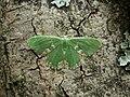 70.300 BF1667 Blotched Emerald, Comibaena bajularia (3120192673).jpg