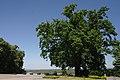 71-103-5004 Kaniv Tarasova gora oak SAM 7219.jpg