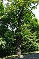 80-361-5033 Kyiv Sichovyh Strilciv Oak SAM 0165.jpg