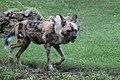 AFRICAN WILD DOG (11418058906).jpg
