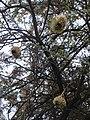 ASC Leiden - van de Bruinhorst Collection - Somaliland 2019 - 4529 - Three nests of weaver birds hanging from a tree.jpg