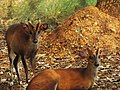 A Pair of Barking Deer.jpg