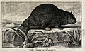 A beaver sitting on the shore of a lake. Etching. Wellcome V0021341.jpg