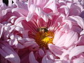 A bee on a chrysanthemum.jpg