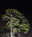 A big tree infront of shaheed minar in Bangladesh.jpg