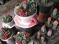 A cup of Cactus, Bazar-e Gol, Tehran یک فنجان کاکتوس - panoramio.jpg
