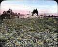 A field of onions (3708641418).jpg