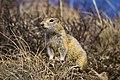 A ground squirrel looking alert amid brown spring vegetation (8af39026-fa3f-4dc5-a7f6-38dbcded4854).jpg