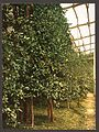 A lemon tree, Limone, Lake Garda, Italy-LCCN2001700815.jpg