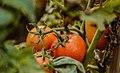 A local Tomato's farm ,Kigoma.jpg