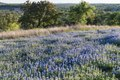 A luxurient field of bluebonnets, the state flower, near Marble Falls in the Texas Hill Country LCCN2014633110.tif