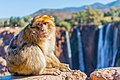 A monkey of the Atlas in Ouzoud waterfalls.jpg