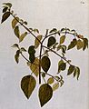 A plant (Corchorus trilocularis L.) related to jute; floweri Wellcome V0042890.jpg