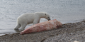 A polar bear (Ursus maritimus) scavenging a narwhal whale (Monodon monoceros) carcass - journal.pone.0060797.g001-A.png