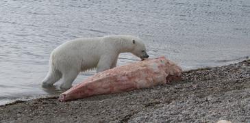 A polar bear (Ursus maritimus) scavenging a narwhal whale (Monodon monoceros) carcass - journal.pone.0060797.g001-A