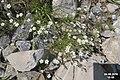 A saxifrage (Grubigstein) (31144505213).jpg