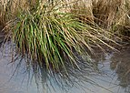 A tuft of lakeshore bulrush.jpg