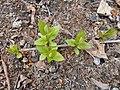 Abeliophyllum distichum 2017-04-17 7239.jpg